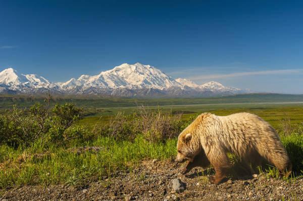 A Grizzly Bear Walking Alongside Art Print