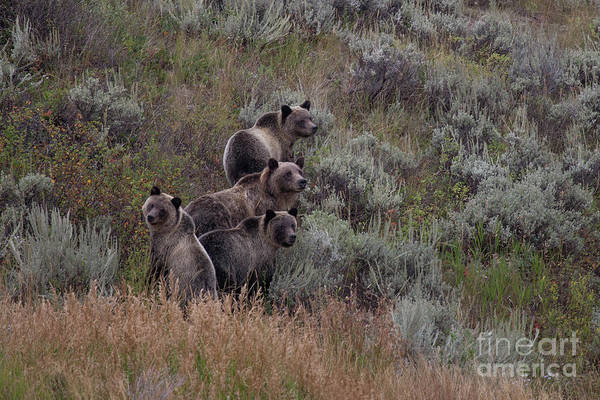 Photograph - A Grizzly Bear With Its Cubs In Yellowstone National Park by Ben Horton