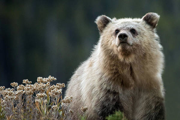 Grizzly Bears Photograph - A Grizzly Legacy by Sandy Sisti