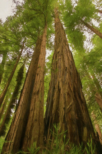 Photograph - A Group Giant Redwood Trees In Muir Woods,california. Reaching F by Rusty R Smith
