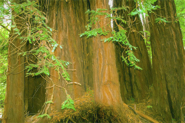 Photograph - A Group Giant Redwood Trees In Muir Woods,california. by Rusty R Smith