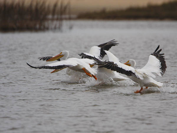 Photograph - A Group Of White Pelicans by Charles McKelroy