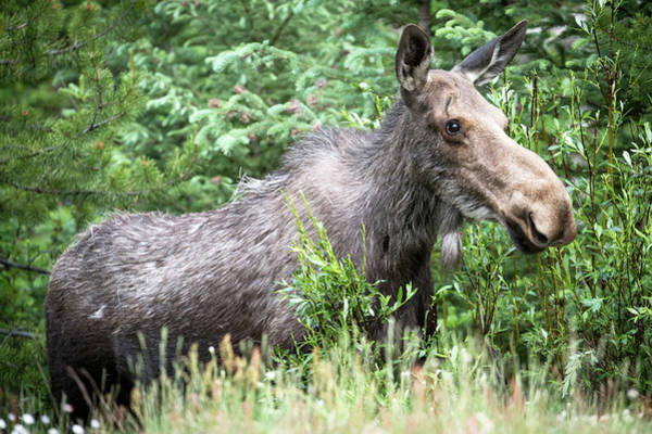 Wall Art - Photograph - A Happy Moose by Catherine Lau