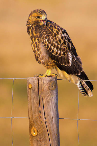 Photograph - A Hawk's Cry by John De Bord