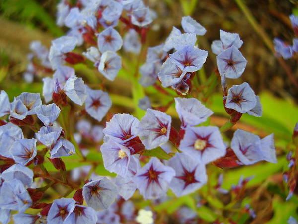 La Gomera Wall Art - Photograph - A Haze Of Little Purple Flowers by Kimberley Boelee