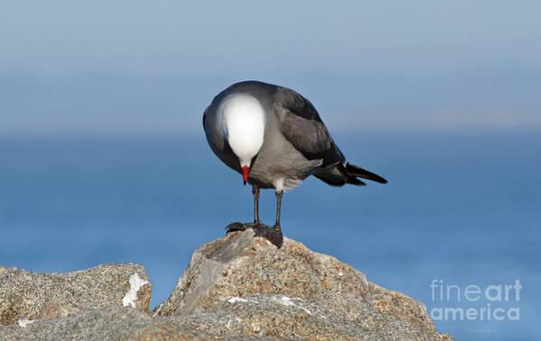 Photograph - A Heermann's Gull Investigates by Susan Wiedmann