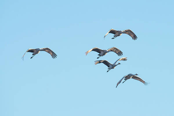 Wall Art - Photograph - A Herd Of Sand Hill Cranes by Paul Freidlund