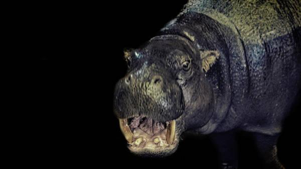 Hippo Photograph - A Hippos Smile by Martin Newman