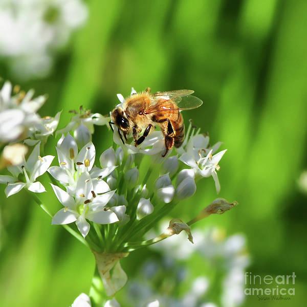 Photograph - A Honey Bee At Work In An Herb Garden by Susan Wiedmann