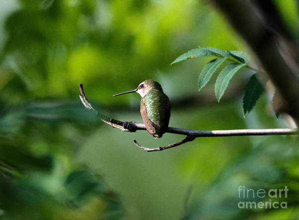 Little Things Photograph - A Hummingbird Rests by Jeff Swan