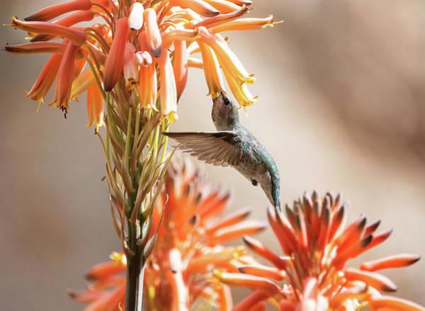 Wall Art - Photograph - A Hummingbird Spring  by Saija Lehtonen