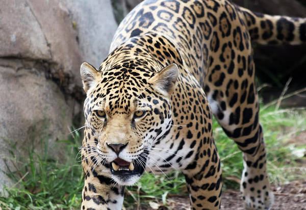 Wall Art - Photograph - A Jaguar Stalking Its Prey In The Wild by Derrick Neill