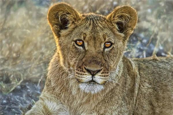 Photograph - Kalahari Lion Cub by Kay Brewer