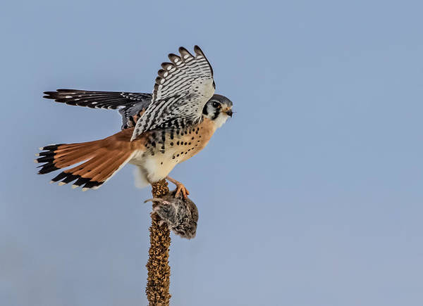 Wall Art - Photograph - A Kestrel A Day by Dawn Key