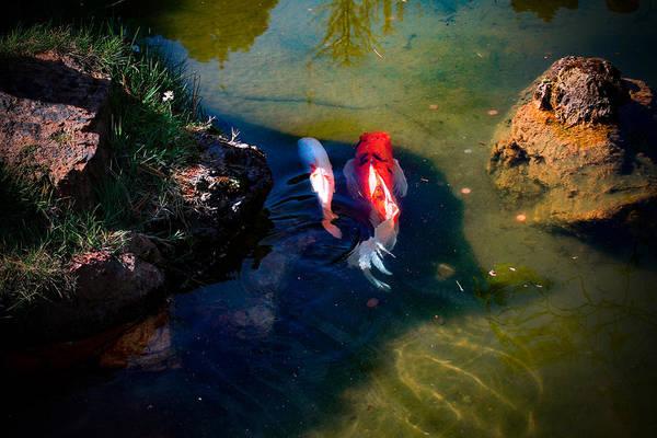 Photograph - A Koi Romance by Bonnie Follett