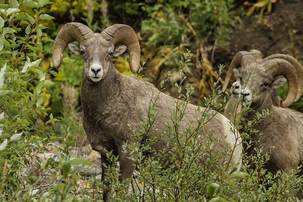 Photograph - A Leader Among Sheep  by Belinda Greb