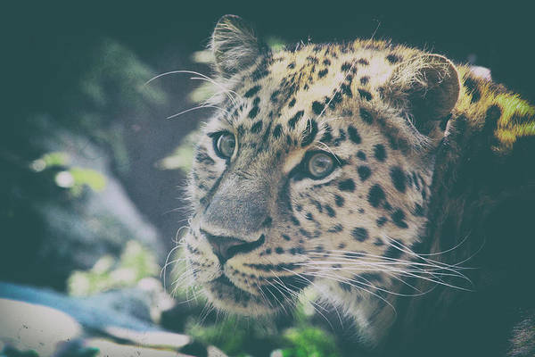 Panthera Pardus Photograph - A Leopards Look by Martin Newman