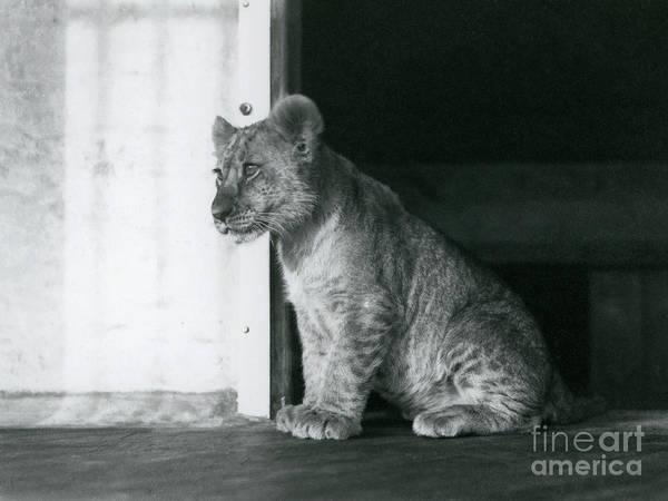 Wall Art - Photograph - A Lion Cub by Frederick William Bond