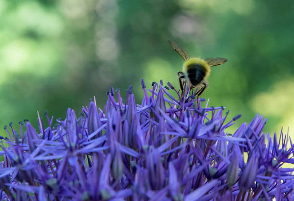 Photograph - A Little Bee Hind by Jani Freimann
