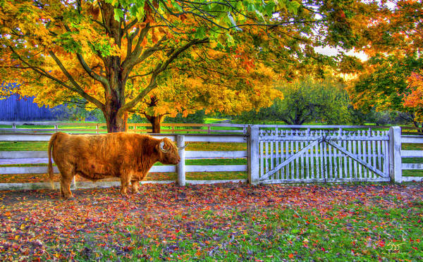 Photograph - A Little Shaker Bull by Sam Davis Johnson