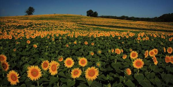Wall Art - Photograph - Sunflower Crop by Chris Berry