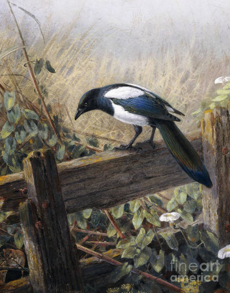 Observe Wall Art - Painting - A Magpie Observing Field Mice by Johan Gerard Keulemans