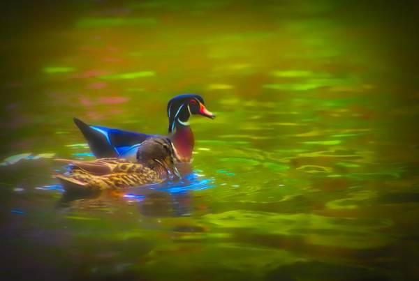 Digital Art - A Male Wood Duck And Female Mallard Swimming Together. by Rusty R Smith
