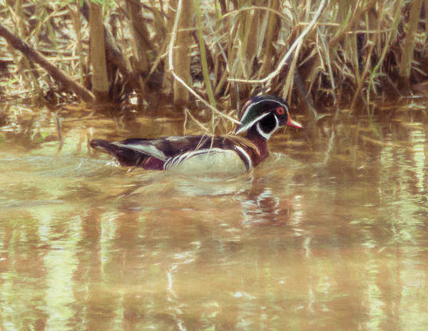 Photograph - A Male Woodduck  by Rusty R Smith
