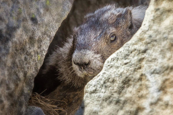 Photograph - A Marmot's Home Among The Rocks by Belinda Greb