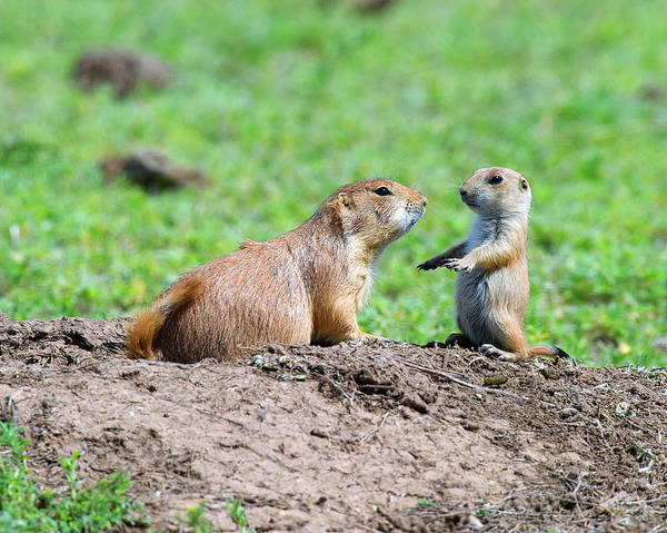 Dog Watch Photograph - A Momma Prairie Dog And Her Baby by Gary Langley