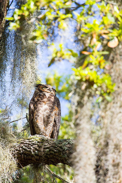 Wall Art - Photograph - A Mother Great Horned Owl In The Morning Sun - Brazos Bend State Park - Texas by Ellie Teramoto