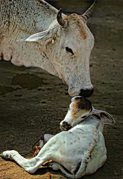 Cow And Calf Wall Art - Photograph - A Mother's Love by Steve Harrington