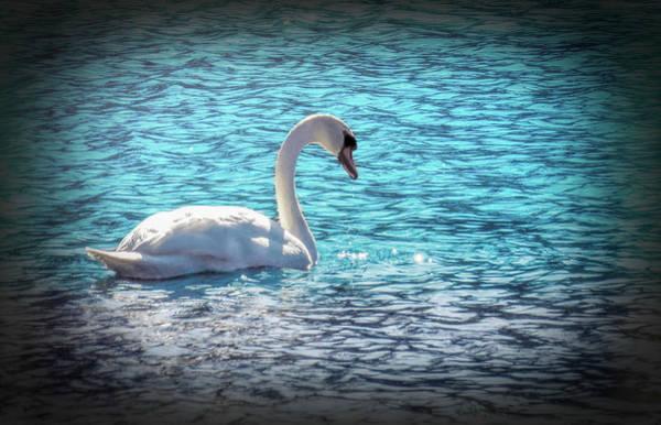 Digital Art - A Mute Swan Swimming Alone. by Rusty R Smith