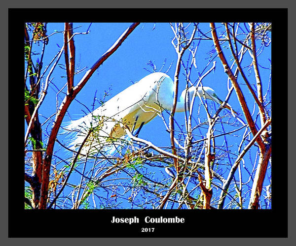 Digital Art - A  Nesting Egret by Joseph Coulombe