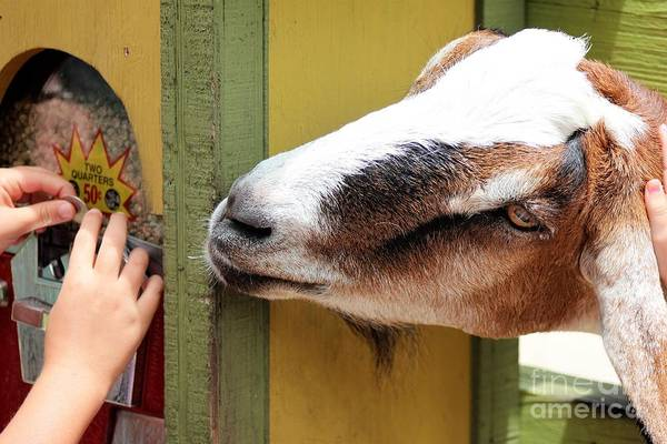 Petting Zoo Photograph - A Nibble Please by Mesa Teresita