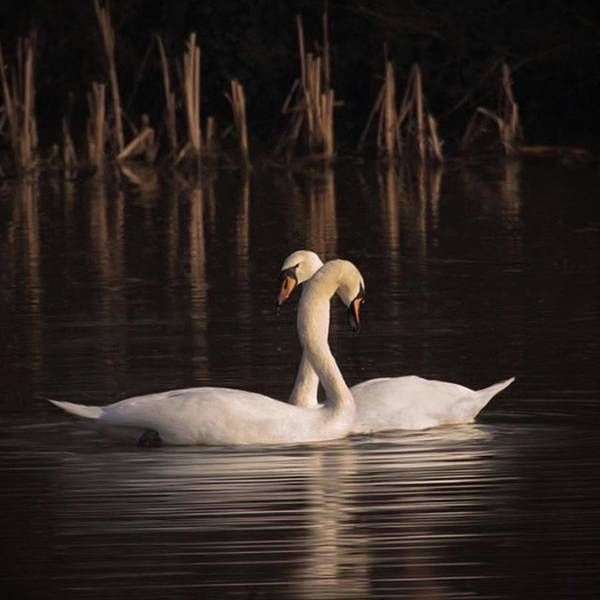Bird Photograph - A Painting Of A Pair Of Mute Swans by John Edwards