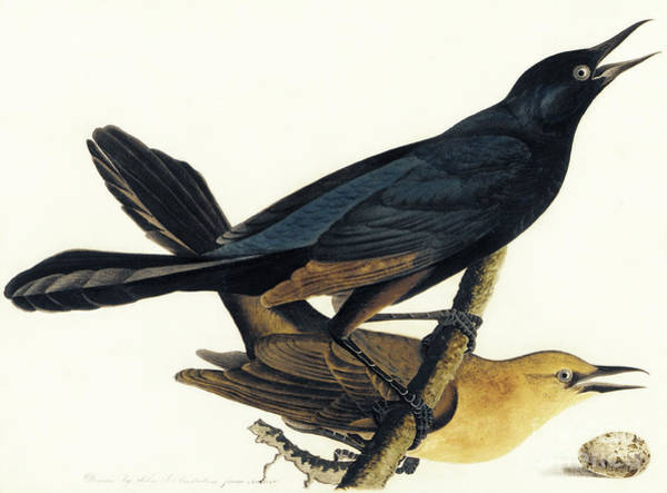 Wall Art - Painting - A Pair Of Boat Tailed Grackles by John James Audubon