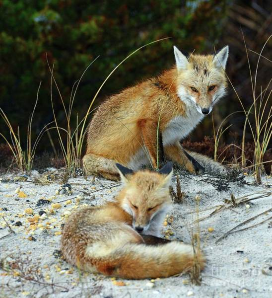 Wall Art - Photograph - A Pair Of Foxes by Paul Ward