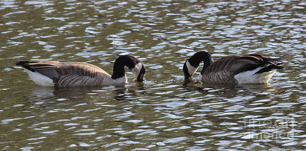 Photograph - A Pair Of Geese by Bill Gabbert