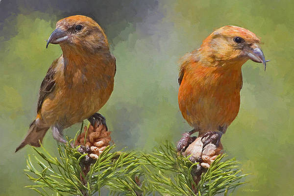 Painting - A Pair Of Male Red Crossbills - Painted by Ericamaxine Price