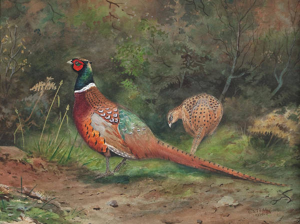 Wall Art - Painting - A Pair Of Pheasants by Charles Stanley Todd