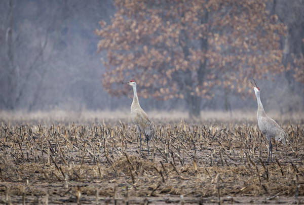 Photograph - A Pair Of Sandhill Cranes 2014-3 by Thomas Young