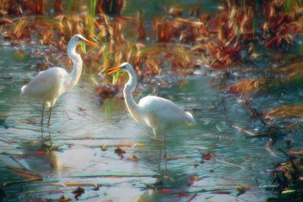 Photograph - A Pair Of Snowy Egrets by Diana Haronis