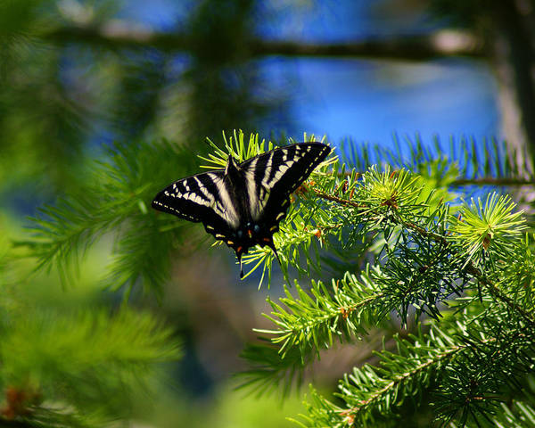 Photograph - A Pale Swallowtail by Ben Upham III