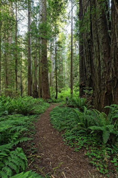 Photograph - A Path In The Redwood Forest by Harold Rau