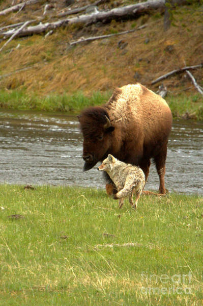 Photograph - A Pause In The Yellowstone Battle by Adam Jewell