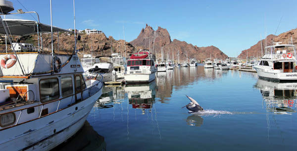 Wall Art - Photograph - A Pelican Lands In The Old San Carlos Marina, Guaymas, Sonora, M by Derrick Neill