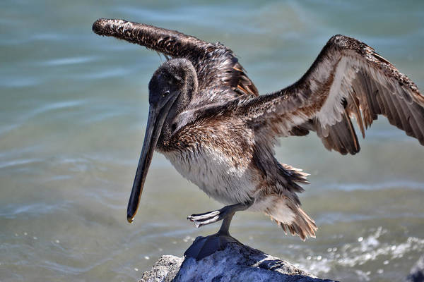 Photograph - A Pelican Practising A Karate Kick Like Daniel In The Karate Kid by Anthony Murphy