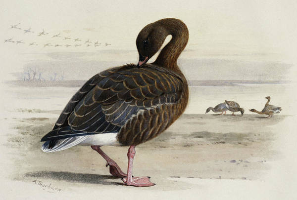 A Pink Footed Goose Art Print