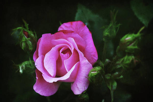 Photograph - A Pink Rose by Trina Ansel